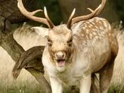 Majestic deer at Helmingham